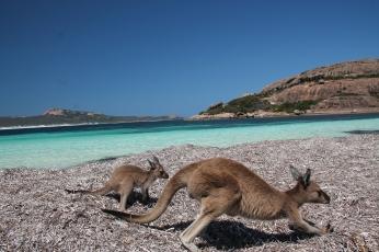Kangury na plaży, Lucky Bay, Australia Zachodnia, Australia