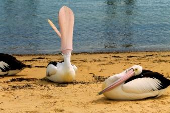 Pelikany, Phillip Island, Wiktoria, Australia