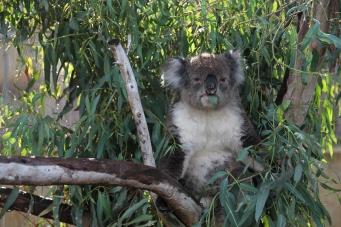 Miś Koala, Yanchep NP, Australia Zachodnia, Australia